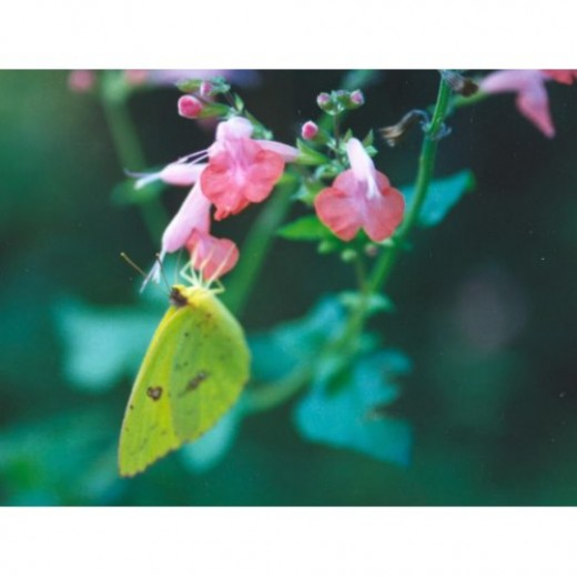 Salvia coccinea can be red, coral pink or white and is used by both butterflies and hummers.