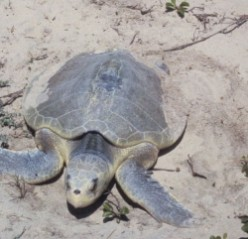 Kemp's Ridley Sea Turtle in Louisiana