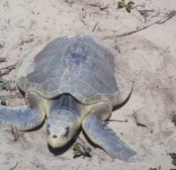 Kemp's Ridley Sea Turtle in Louisiana