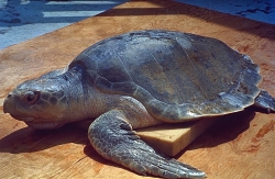 Sea Turtle, possibly Kemp's Ridley