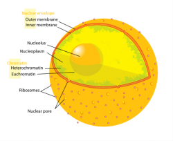 Structures inside the nucleus