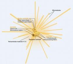 Sturcture of centrioles