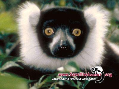 50 Varieties of Lemurs: 17 On Endangered List