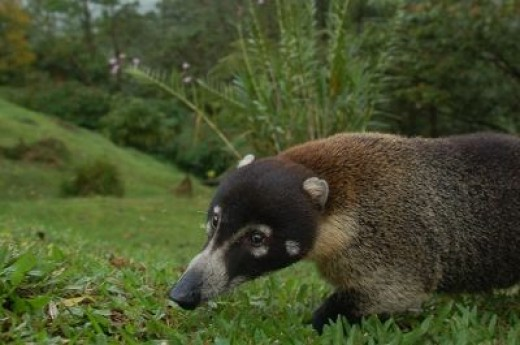 Coatimundi-Credit:Scott Ableman