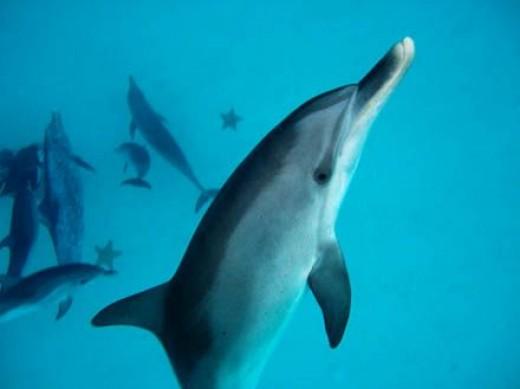 Dolphin Communication Project Stenella frontalis