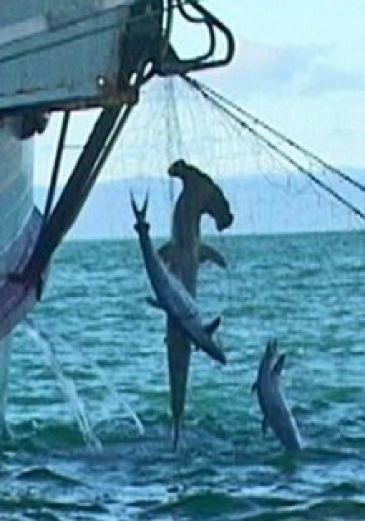 Sharks caught as bycatch in a net