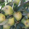 An Abundance of Apples - Making the Most of a Generous Tree