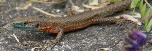This is just one of several very colorful Lizards that was spotted and photographed in Parga.