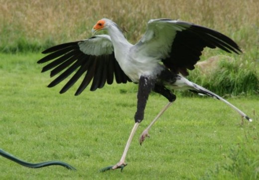Secretary Bird Trampling a Snake by Clive Anderson July 2012