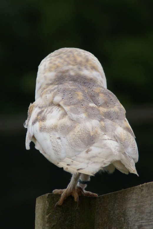 The beautiful plumage of a Barn Owl from behind.