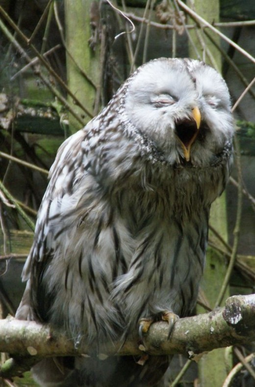 A very tired Owl gives a yawn.