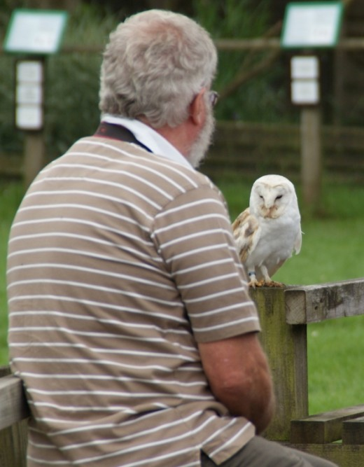 A brief moment when this Barn Owl decided to land and stand for a bit right on the arm of a spectators wooden chair.
