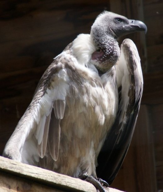 Large Vulture keeps watch while warming under its wing.