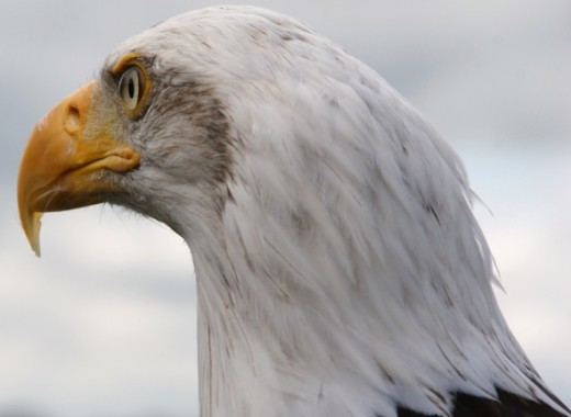 A Majestic look from the great Bald Eagle.