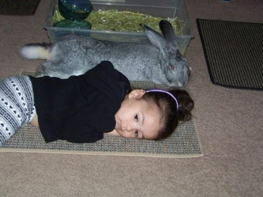 My Granddaughter Aamira, with Atira, My Flemish Giant