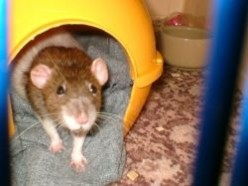 Keeping your pet rat happy and healthy