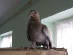 Rearing a Collared Dove Chucky's Tale