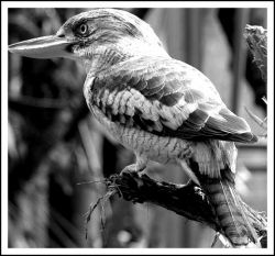 Kookaburra Black and White