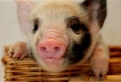 How To House (or Litter Box) Train Your Teacup Pig