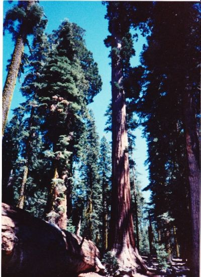Sequoia - Big Tree
