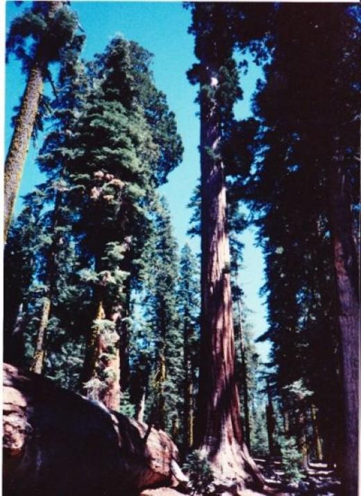 Sequoia - Big Tree