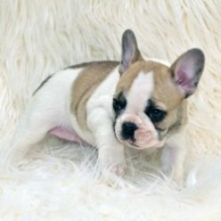 Everything You NEED TO KNOW about  French Bulldog Puppies