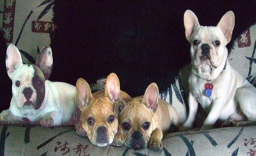 These are my first 4 French Bulldogs. I went crazy for Frenchies at this point.