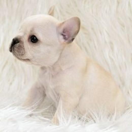 French Bulldog Puppy Creme Color