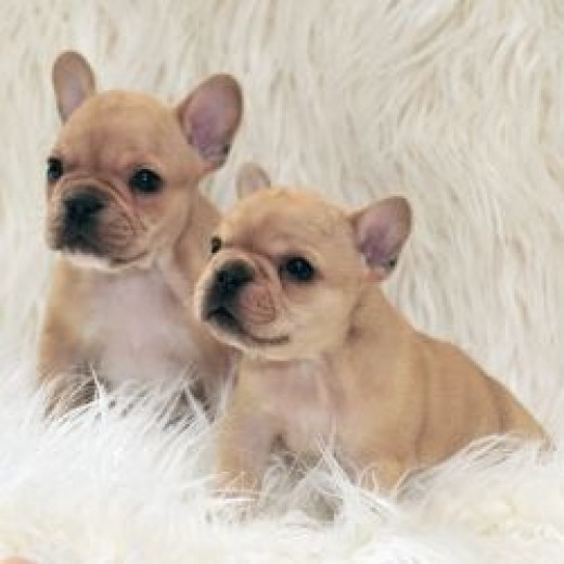 Orange Fawn French Bulldog Puppies