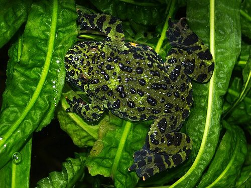 Fire Bellied Toad from Above