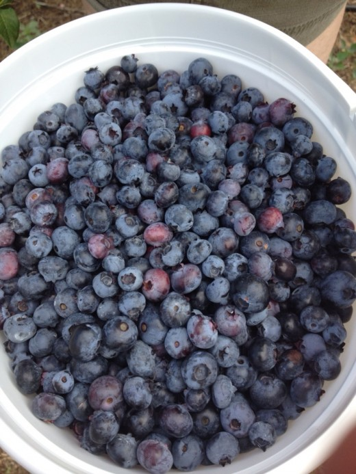 On our last trip blueberry picking, we came home with over 5lbs of blueberries!