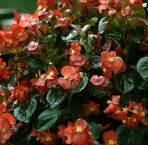 Stop and smell the Begonias