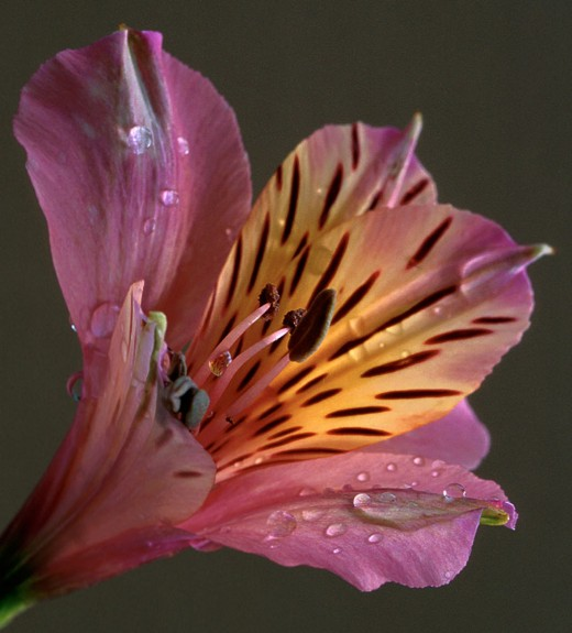 Dark background - without any distractions- can be good when you wasn't to contrite attention on the flower (alstroemaria)