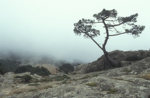 A lone tree emerging from the mist (Corsica)