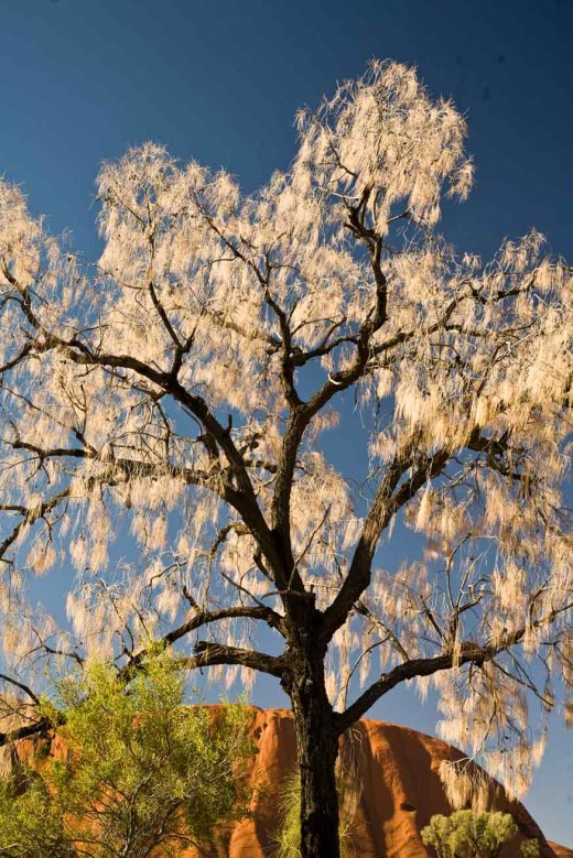 Tree in sunlight at Ayers Rock, Australia