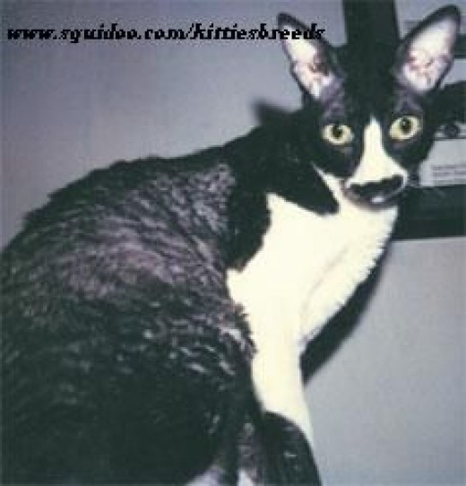 cornish rex cats pictures more cornish rex pictures cornish rex breed cornish rex kitten cornish rex breeders devon cornish rex cornish rex allergies cornish rex personality