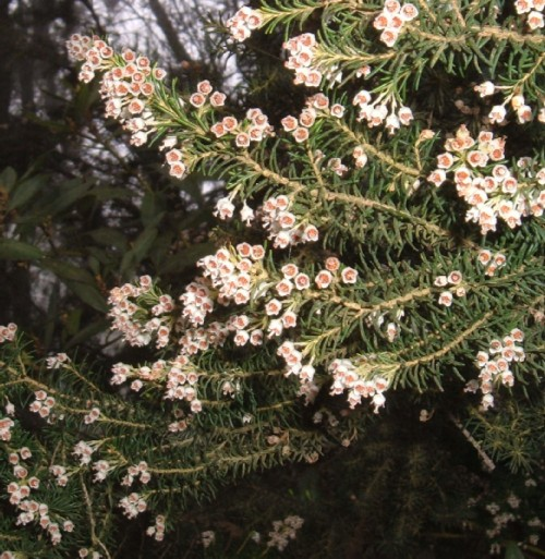 Tree Heather
