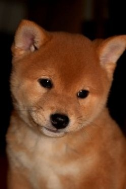 The Shiba Inu - A Unique Dog Breed