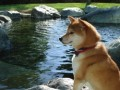 How To Understand The Shiba Inu Temperament