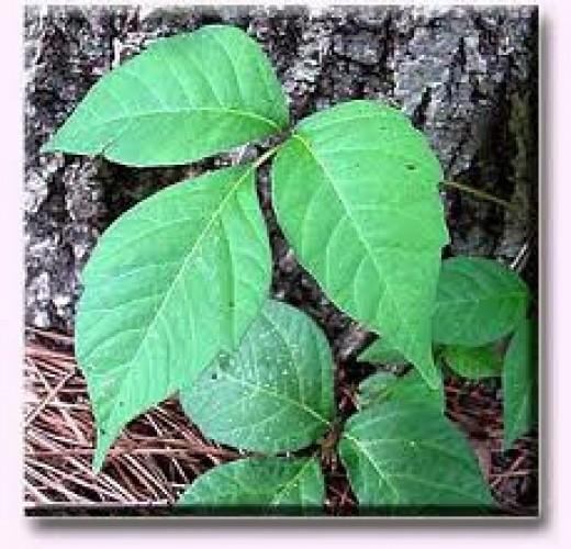 Poison Ivy 3-leaf cluster