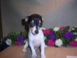 Harley as a puppy (picture from the breeder).