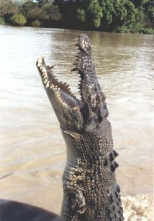 Croc Jumping out of Water
