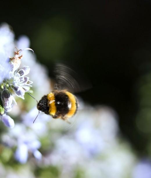 Bumble Bee Flight