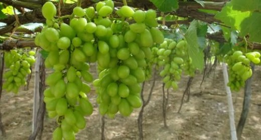 Succulent Grapes from your Own Backyard