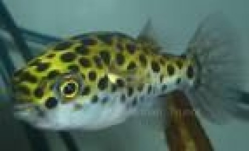 Green Spotted Puffer Fish