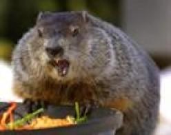 Having a groundhog as a pet