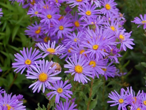 A Picture Of The Aster Amellus