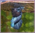 Betta Addiction - Betta Fish Breeding