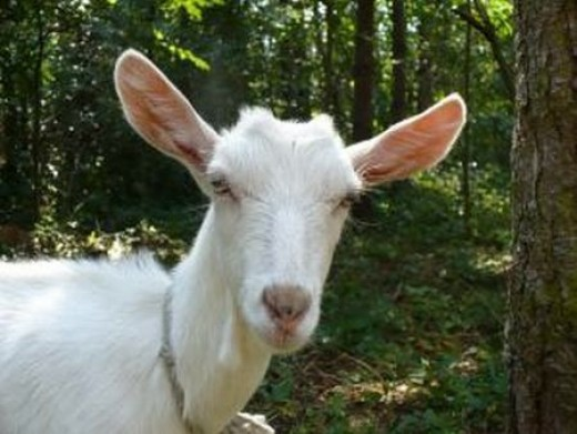 keeping goats for milk