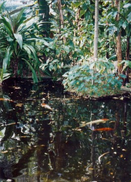 A pond with koi fish swimming in it.  Adjacent to the area of the garden featuring bamboo.